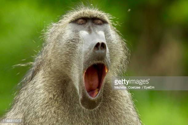 close-up of monkey yawning - baboon stock pictures, royalty-free photos & images