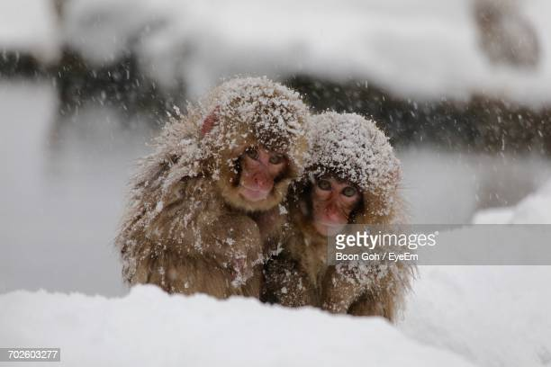 close-up of monkeys in snow - valentine monkey stock pictures, royalty-free photos & images