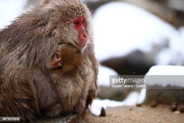 Close-Up Of Monkeys In Winter