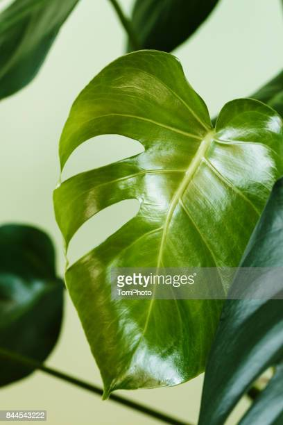 Close-Up of Monstera deliciosa leaves. Palm house plant