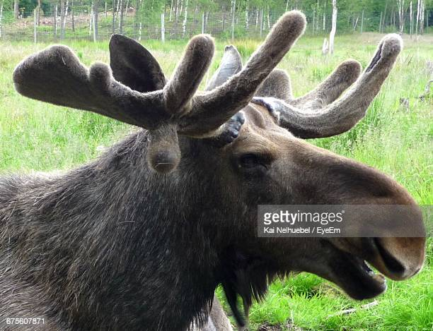 Close-Up Of Moose On Field