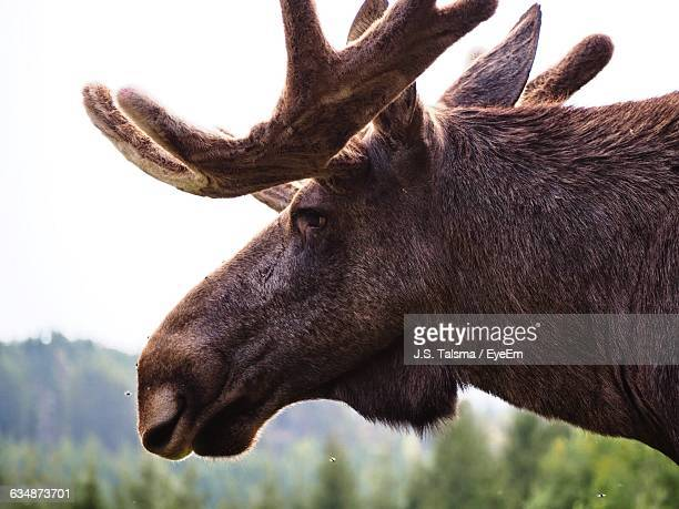 Close-Up Of Moose Outdoors