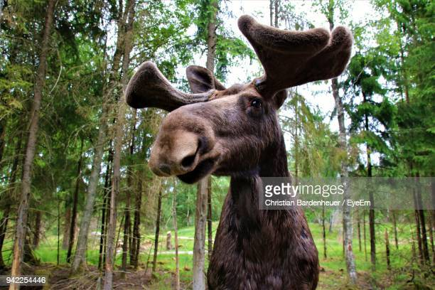 close-up of moose standing against trees at forest - sweden stock pictures, royalty-free photos & images