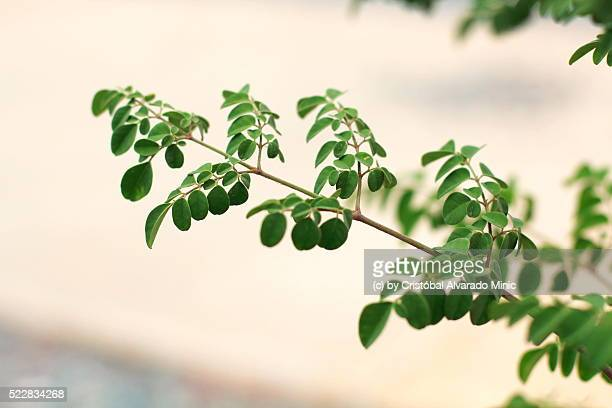 Close-Up Of Moringa oleifera Branches Growing In Forest