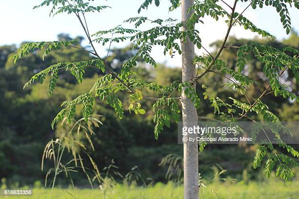 Close-Up Of Moringa oleifera Tree Growing In Forest