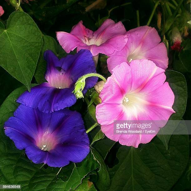 Close-Up Of Morning Glories Blooming Outdoors