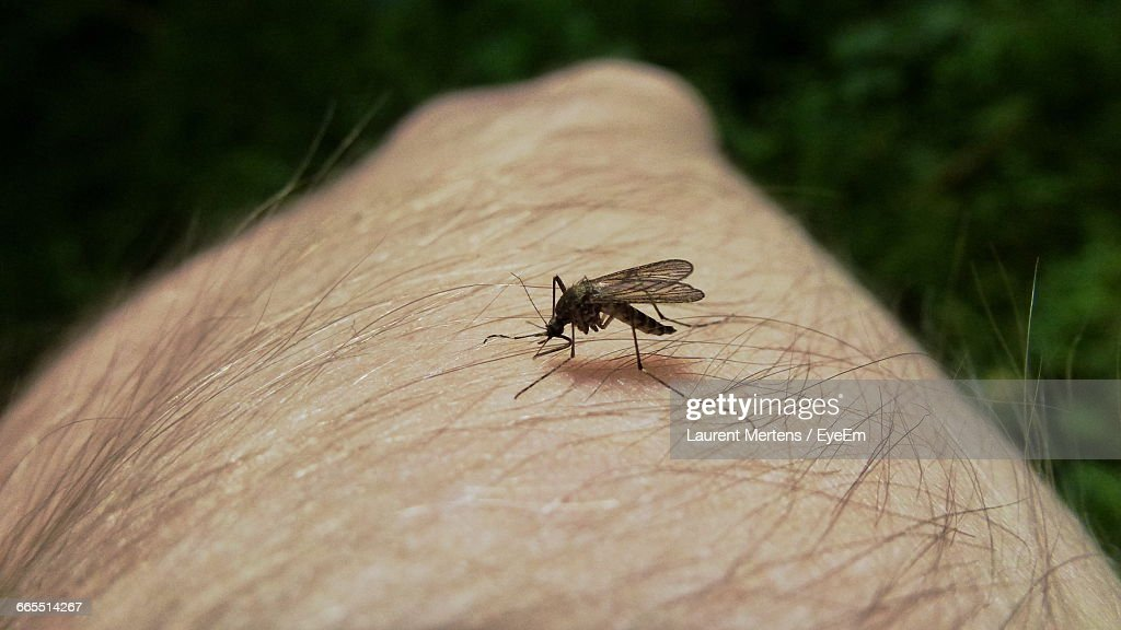 Close-Up Of Mosquito On Human Hand : Stock Photo