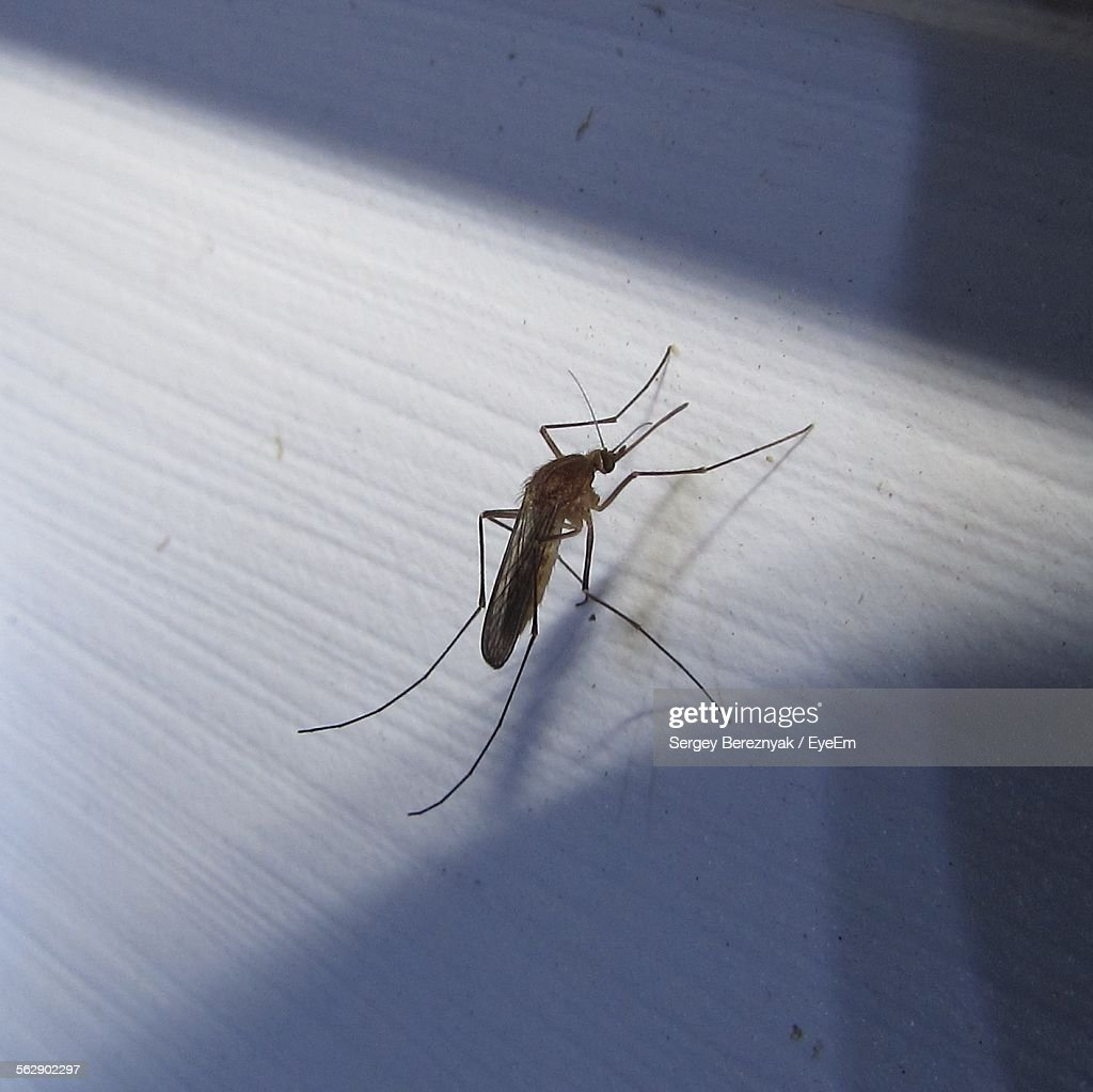Close-Up Of Mosquito On Wall : Stock Photo