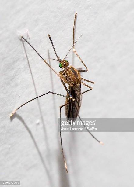 Close-Up Of Mosquito On Wall