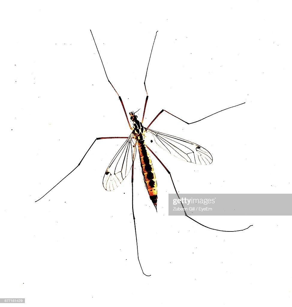 Close-Up Of Mosquito On White Background : Stock Photo