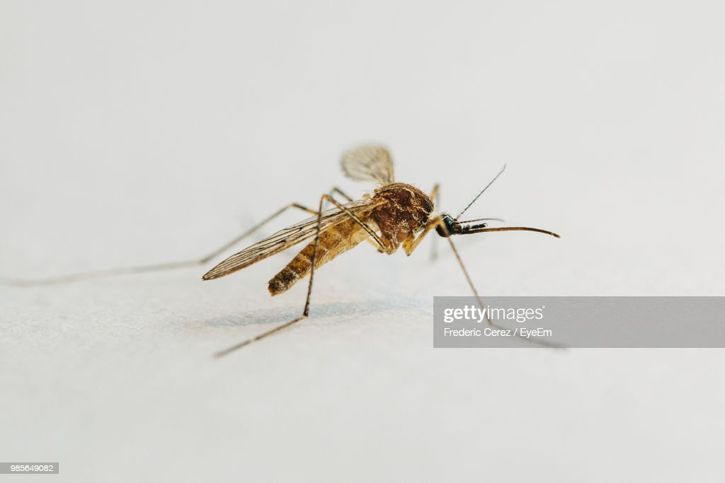 Close-Up Of Mosquito On White Table : Stock Photo