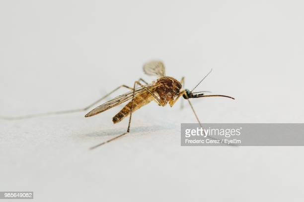 Close-Up Of Mosquito On White Table
