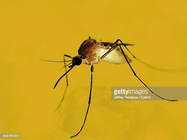 Close-Up Of Mosquito On Yellow Surface