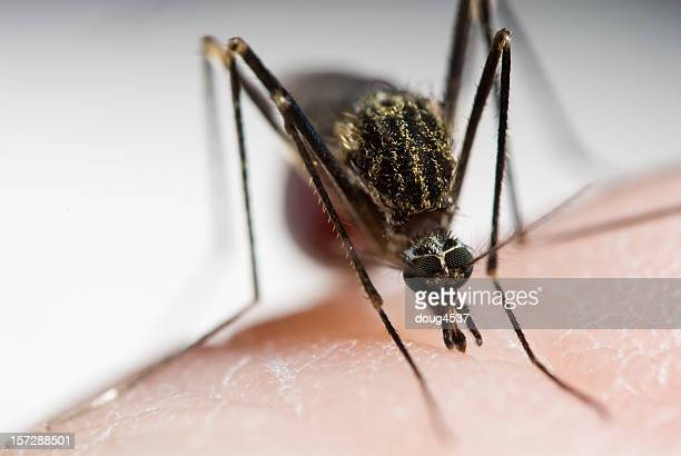 Closeup of mosquito sucking blood out of arm