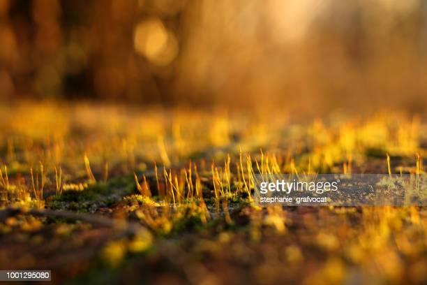 Close-up of moss at sunset
