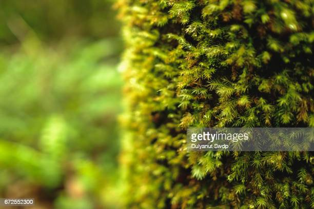 close-up of moss covered tree trunk in the mossy forest of gunung brinchang , pahang , malaysia - moss stock pictures, royalty-free photos & images
