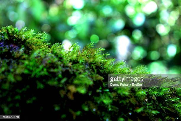 Close-Up Of Moss Growing In Forest