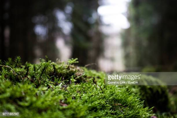 close-up of moss growing in forest - moss stock pictures, royalty-free photos & images