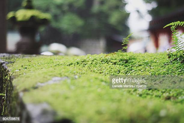 Close-Up Of Moss Growing On Retaining Wall