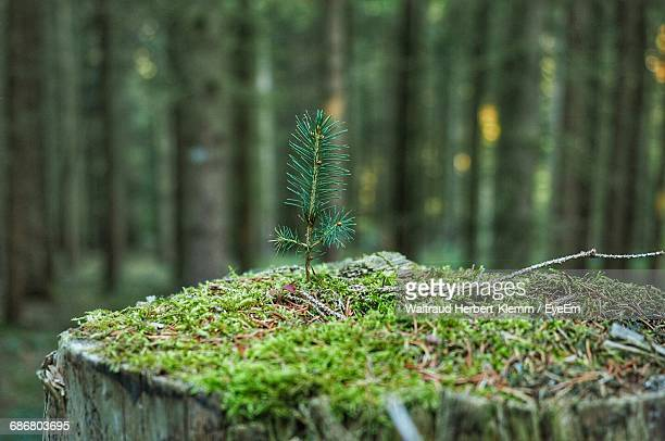 Close-Up Of Moss Growing On Tree Stump In Forest