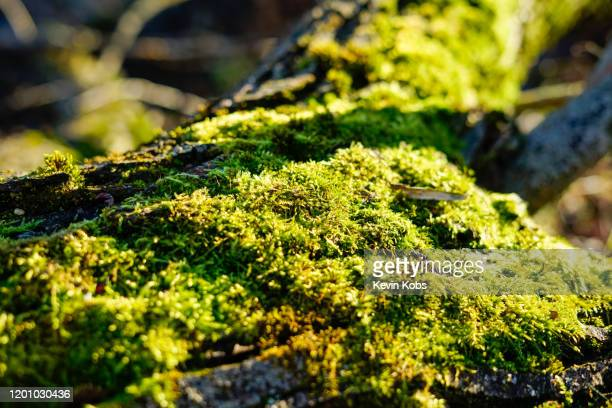 close-up of moss on a tree trunk with blurred background. - snag tree stock pictures, royalty-free photos & images