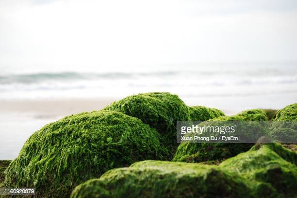 close-up of moss on beach - moss stock pictures, royalty-free photos & images