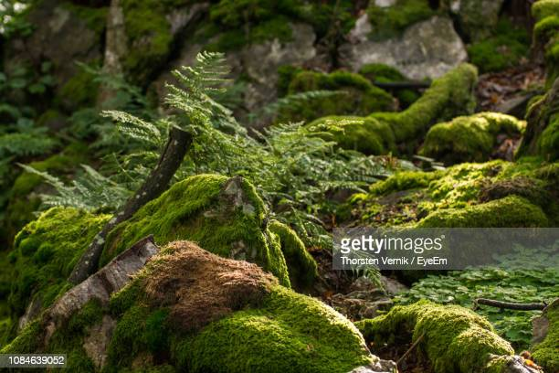 close-up of moss on rock in forest - moos stock-fotos und bilder