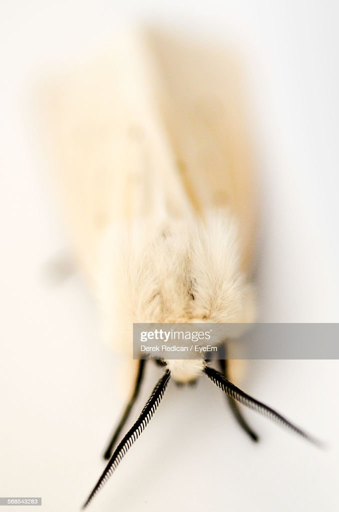 Close-Up Of Moth Against White Background : Stock Photo