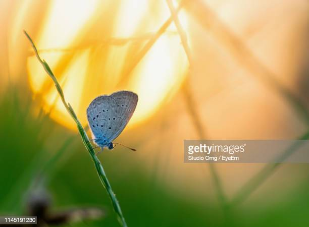 close-up of moth on plant during sunset - sunset moth stock photos and pictures
