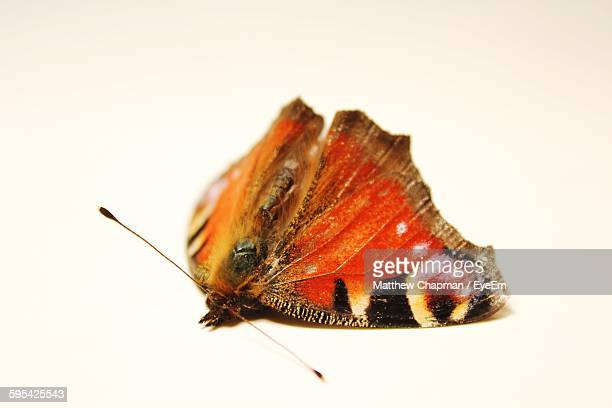 Close-Up Of Moth On White Background