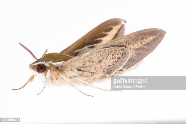 close-up of moth over white background - papillon de nuit photos et images de collection