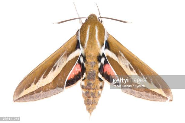 Close-Up Of Moth Over White Background