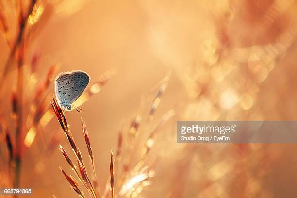 close-up of moth plant during sunset - sunset moth stock photos and pictures
