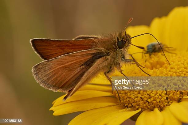 close-up of moth pollinating on yellow flower - st. albans stock pictures, royalty-free photos & images