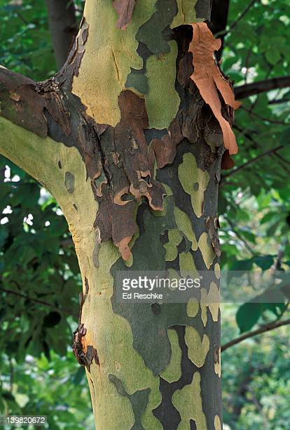 closeup of mottled bark peeling off in large thin flakes from trunk of sycamore tree, platanus occidentalis, michigan, usa - sycamore tree stock photos and pictures