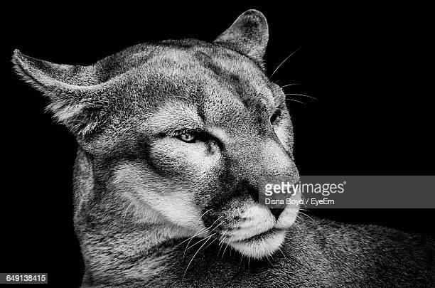 close-up of mountain lion against black background - puma stock photos and pictures