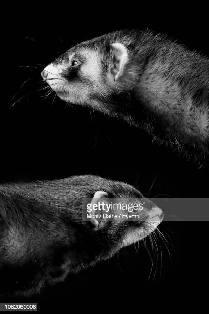 close-up of mouse against black background - rodent stock pictures, royalty-free photos & images