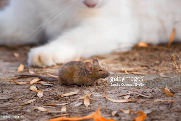 close-up of mouse by cat on field - field mouse - fotografias e filmes do acervo