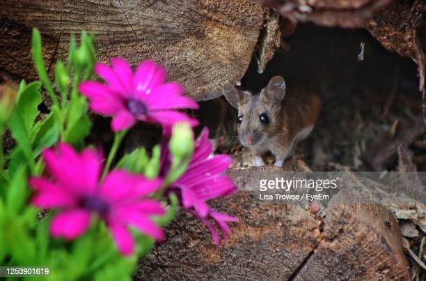 close-up of mouse by pink flower - field mouse stock pictures, royalty-free photos & images