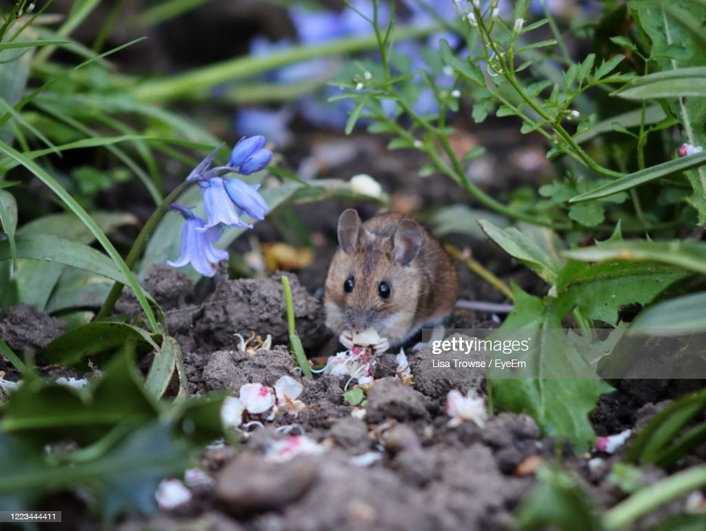 Close-Up Of Mouse In Garden : Stock Photo