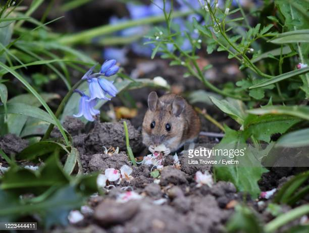 close-up of mouse in garden - esher stock pictures, royalty-free photos & images