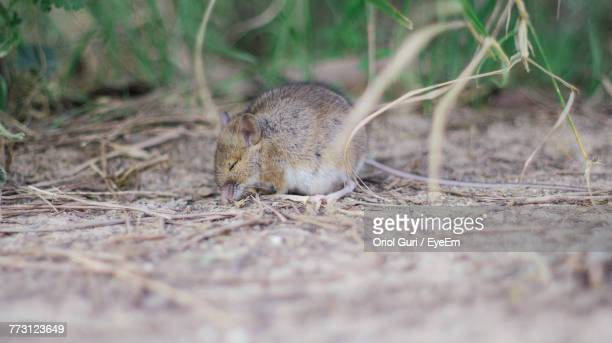 close-up of mouse on field - field mouse photos et images de collection