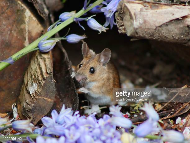 close-up of mouse on purple flower - esher stock pictures, royalty-free photos & images