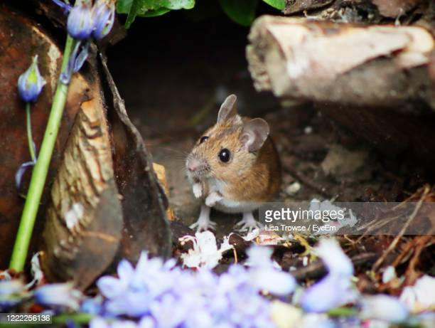 close-up of mouse on purple flowers - esher stock pictures, royalty-free photos & images
