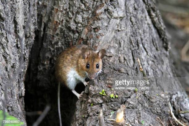 Close-Up Of Mouse On Tree Trunk