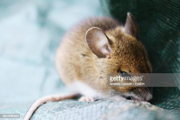 Close-Up Of Mouse Outdoors