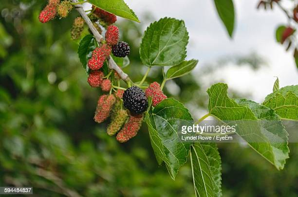 close-up of mulberries growing on tree - mulberry tree stock pictures, royalty-free photos & images