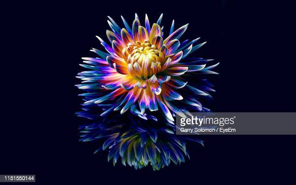 close-up of multi colored flower against black background - close up stock pictures, royalty-free photos & images