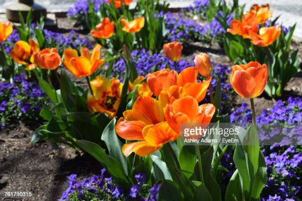 close-up of multi colored flowers blooming outdoors - ashley adams stock pictures, royalty-free photos & images