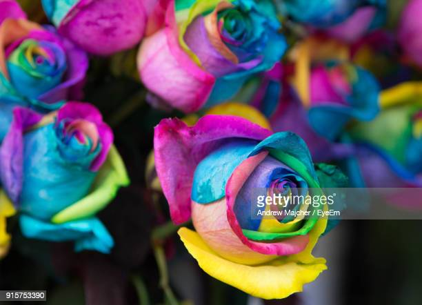 Close-Up Of Multi Colored Rose